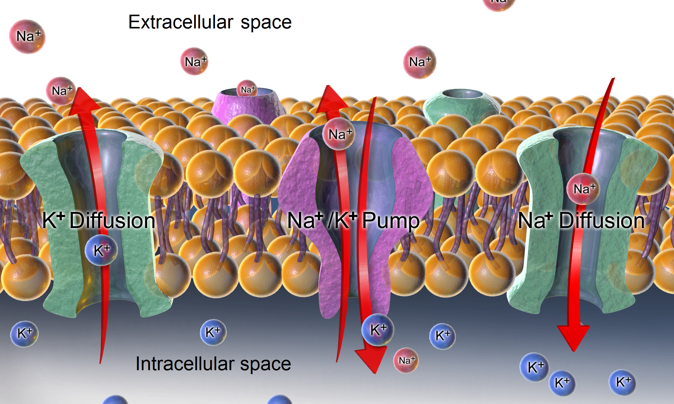 vai trò điện tích màng tế bào lên hệ hô hấp